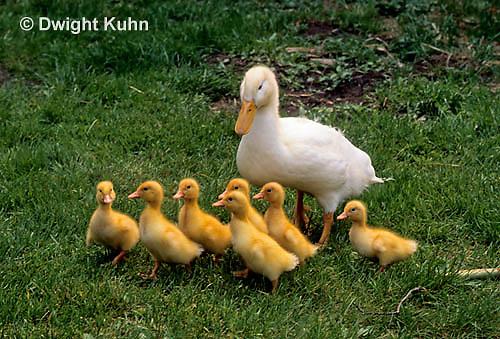 DG20-085z  Pekin Duck - ten day old ducklings with immature adult