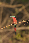 Southern Carmine Bee Eater 2