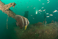 longfin spadefish or tiera batfish, Platax teira, on the wreck of a 100 m long American LST (Landing Ship - Tank) sunk at the end of WWII The wreck sits upright at a depth of 28-35 meters in Ilanin Bay, within Subic Bay, Philippines