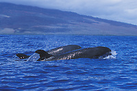 False-killer Whale pair (Pseudorca crassidens) surfacing in the AuAu Channel, Maui, Hawaii. Pacific Ocean