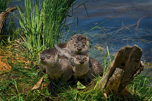Three young Northern River Otter (Lontra canadensis) pups wait for mom on a grass covered log along the edge of a lake.  Western U.S., summer..