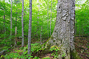 Yellow Birch (Betula alleghaniensis) in an old-growth, northern hardwood forest along the Saco River Trail in Crawford Notch State Park of the White Mountains, New Hampshire during the summer months.