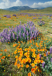 California poppies and lupine, Antelope Valley, Lancaster, California, USA