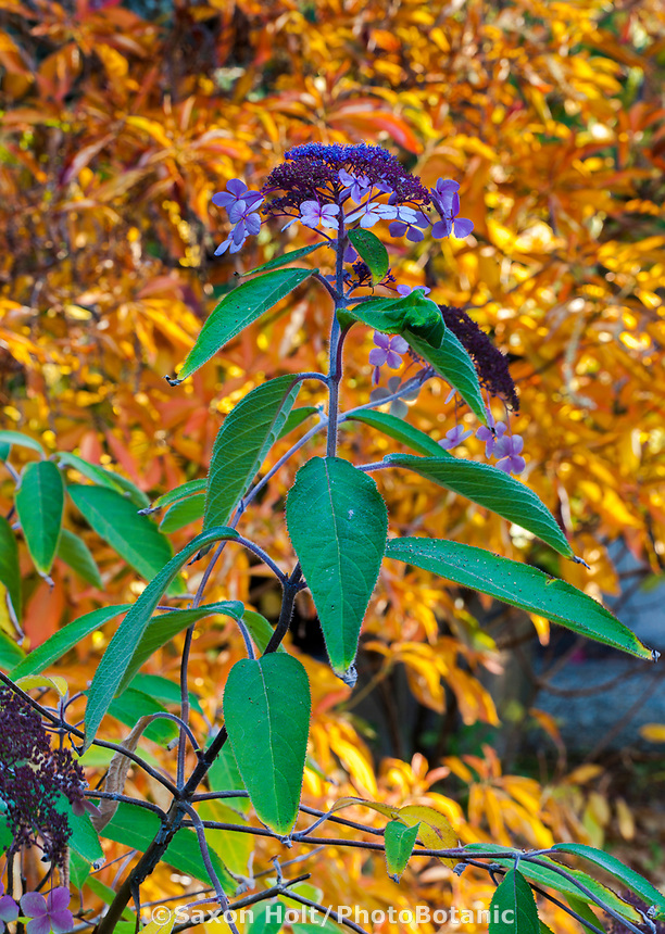 Hydrangea shrub flowering front of Clethra in fall folaige color