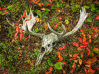 """""""Moose Skull in Fall Foliage""""<br /> <br /> A moose skull lies among colorful Fall foliage. On a dark rainy day, I came across this moose skull while exploring an island on Suzanette Lake in Quetico Provincial Park."""