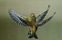 Grünfink, Grünling, Grün-Fink, 2 Vögel im Flug, Flugbild, Chloris chloris, Carduelis chloris, Greenfinch, Verdier d'Europe