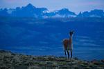 Guanaco (Lama guanicoe) at dawn, Torres del Paine National Park, Patagonia, Chile