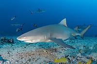 sicklefin lemon shark, Negaprion acutidens, aka sharptooth lemon shark or Indo-Pacific lemon shark, White Valley, Tahiti, Society Islands, French Polynesia, Pacific Ocean