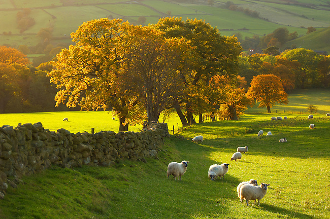Farndale farm with autumn colours and sheep, North Yorkshire Moors National Park, England.