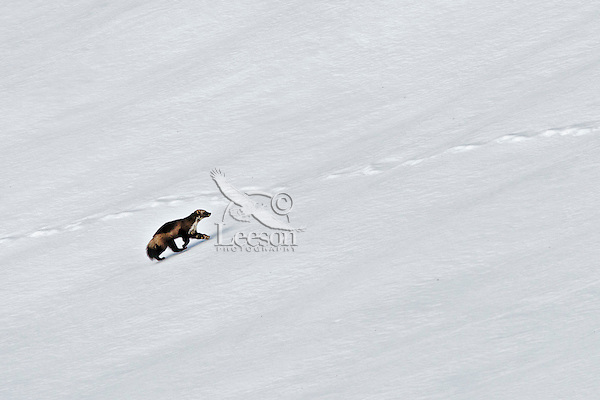Wild wolverine (Gulo gulo) trotting along over snow.  Northern U.S. Rocky Mountains.  October.