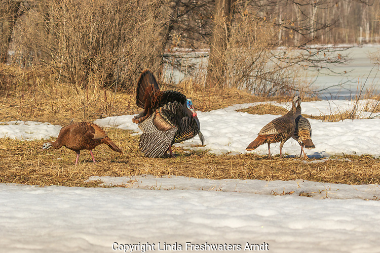 Tom turkey strutting for some hens in northern Wisconsin.