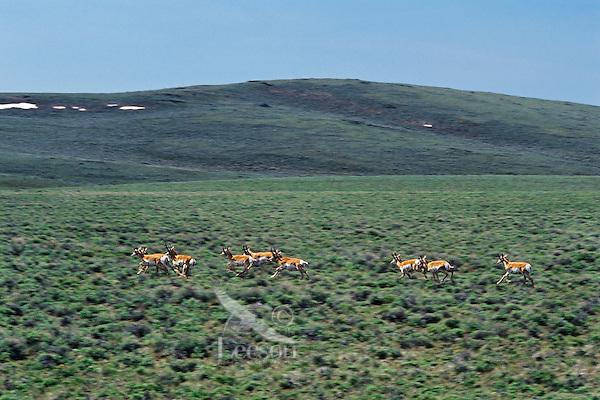 Pronghorn antelope running across sage flats, Sheldon National Wildlife Refuge, Nevada.  June.