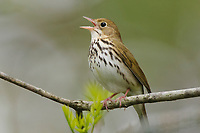 Adult male Ovenbird (Seiurus aurocapilla) singing. Tompkins County, New York. May.
