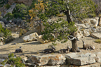 Small group of Desert Bighorn Sheep along south rim of Grand Canyon.