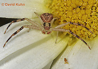 0118-07xx  Crab spider - Misumenops spp. - © David Kuhn/Dwight Kuhn Photography