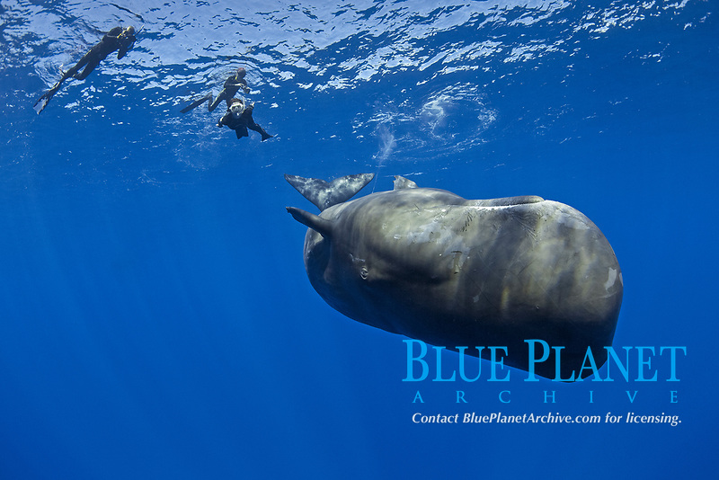 Free divers swimming and photograph a calf sperm whale, Physeter macrocephalus, The sperm whale is the largest of the toothed whales Sperm whales are known to dive as deep as 1,000 meters in search of squid to eat Image has been shot in Dominica, Caribbean Sea, Atlantic Ocean Photo taken under permit #P 351/12 W-2