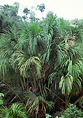 Amazon, Brazil. Buriti palm - Mauritia flexuosa.