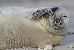 Foto: VidiPhoto<br /> <br /> DÜNE  - Pasgeboren jonge zeehondjes met hun nog witte vacht op het strand van het piepkleine eilandje Düne, bij Helgoland in het Duitse deel van de Waddenzee. Aan het eind van de herfst/begin winter worden er op Düne ieder jaar tientallen zeehondenbaby's geboren. De jongen van ongeveer 10 kilo worden na de geboorte door de moeder op het strand achtergelaten. Af en toe komen ze terug om de kleintjes te voeden met melk. Door de extreem vette moedermelk wegen de dieren binnen drie weken zo'n 50 kilo. Er zijn zo'n dertig soorten zeehonden.