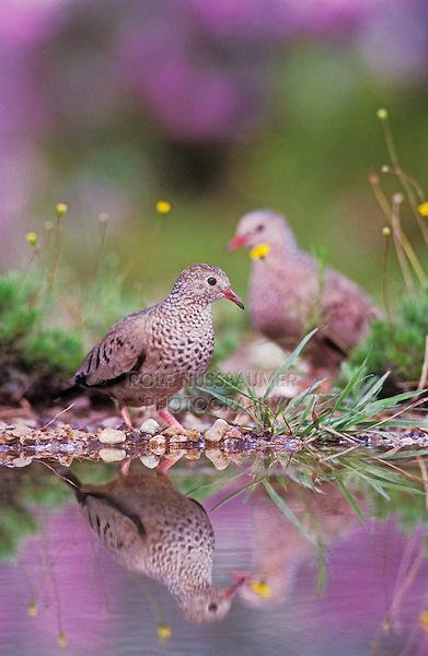 Common Ground-Dove, Columbina passerina,pair with Texas Sage in Background, Lake Corpus Christi, Texas, USA