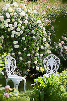 A pair of wrought-iron garden chairs in the garden in front of a 'Madeleine Selzer' rose in full bloom in the summer sunshine