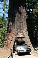 A vehicle passes through the base of the Chandelier Tree in Leggett, California. The 6 foot wide hole was cut into the base of the 315 foot tall tree in the 1930's to allow cars to drive through. Photographed 07/08