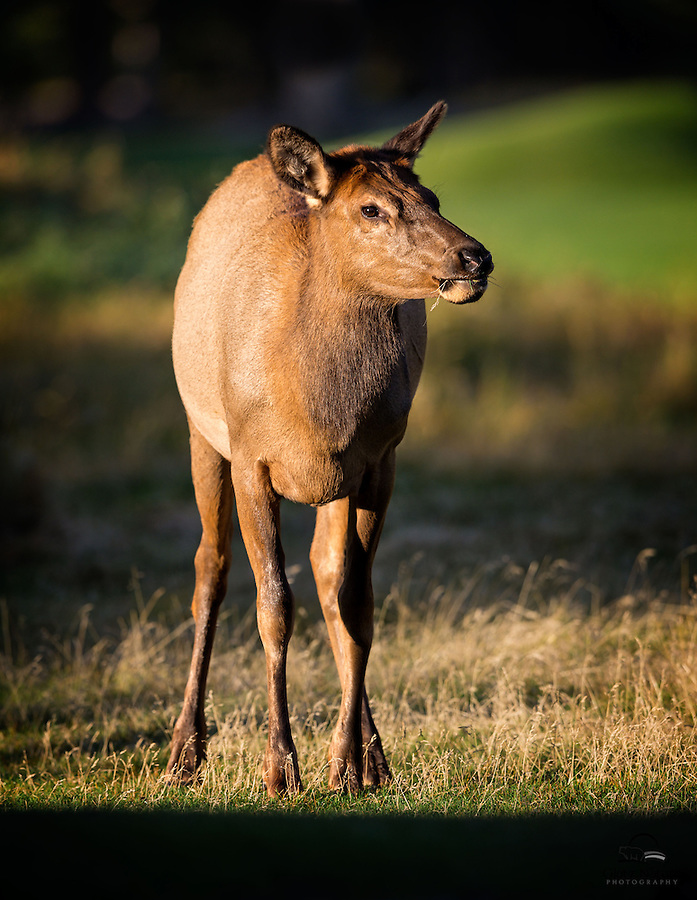 Female Elk (Cervus canadensis) feeds in the early morning, Banff National Park, Alberta, Canada.