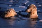 Polar bears swimming, Canada
