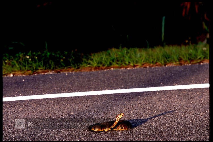 MAY 21, 2001. LAKE OKEECHOBEE, FLORIDA. Lake conditions are at about 9.5 three feet under average. Conditions are expected to get worse in the next few months. A water mocisin deadly and poisonous rears in defense on HWY 441.