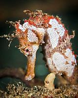 Thorny seahorse, Hippocampus histrix, Lembeh Strait, Indonesia, Pacific Ocean