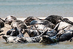 Gray Seals hauled out on the Chatham Bars, Cape Cod.  Close-up of several seals relaxing in the sun.