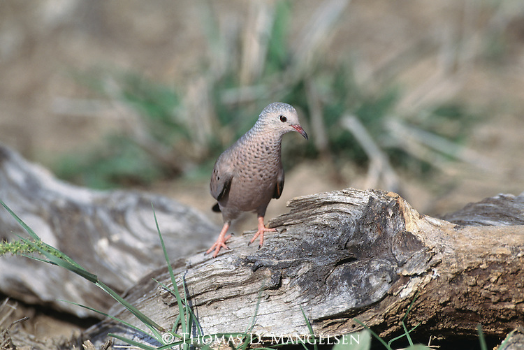 Common Ground-Dove perched on a log in South Texas.