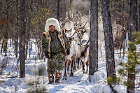 An Evenki man leads his reindeer through the forest. His herd is vulnerable to ever- increasing wolf attacks. All over eastern Siberia, wolves are migrating in huge numbers from the taiga forests out onto reindeer pastures, threatening livestock on a scale not seen since pre-Soviet times.  An explosion of the wolf population has had a devastating impact on the reindeer herds that are the lifeblood for the indigenous Evenki people of the Siberian state of Sakha (Yakutia). In 2012 it was estimated that between 12,000 - 16,000 reindeer were lost to wolf attacks, at a cost of around 15,000 rubles (153.00 GBP) per animal. In response the local authorities introduced a three month hunt with a bounty to encourage hunters to target wolves with the aim of reducing their numbers from 3,500 to 500. Hunters earn 400 USD (280 GBP) per proven kill, plus a further 400 USD (280 GBP) selling the skin to the fur trade. Ion Maksimovic, the region's most celebrated wolf hunter, killed 23 wolves in 2014, more than any other hunter, and in doing so won a prize of 300,000 roubles (3,060 GBP) and a snowmobile.