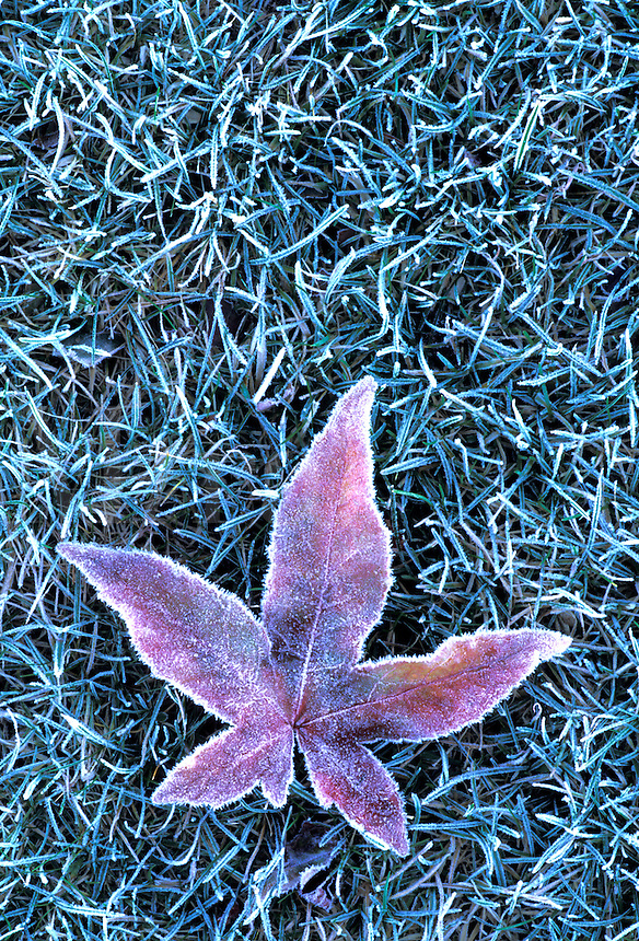 Frosted leaf on grass, Langas River Front Park, Everett, Washington