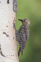 Williamson's Sapsucker,Sphyrapicus thyroideus, adult female with ant prey at nesting cavity in aspen tree, Rocky Mountain National Park, Colorado, USA, June 2007