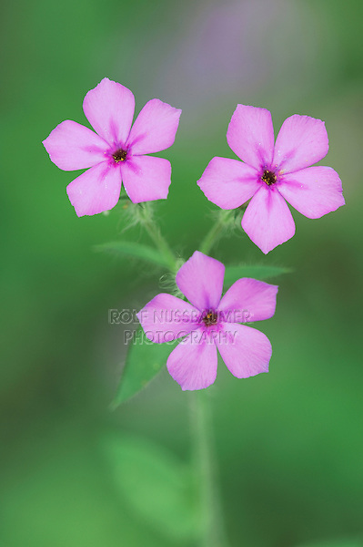 Pointed Phlox (Phlox cuspidata), blooming, Dinero, Lake Corpus Christi, South Texas, USA