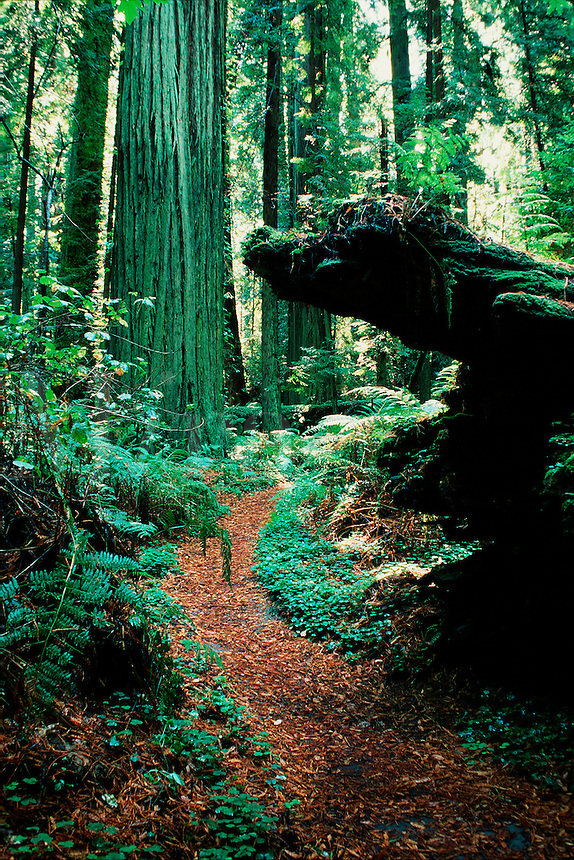 A trail meanders through a redwood forest amongst heavy undergrowth, fallen logs and trees. Humboldt Redwoods State Park, California.