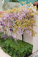 Pink Wisteria rosea trained as standard against wall, with Buxus boxwood at base, and Allium ornamental onion bulbs and Lavandula stoechas Spanish lavender for pink, lavender, purple color theme in courtyard garden