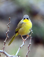 Adult gray-crowned yellowthroat