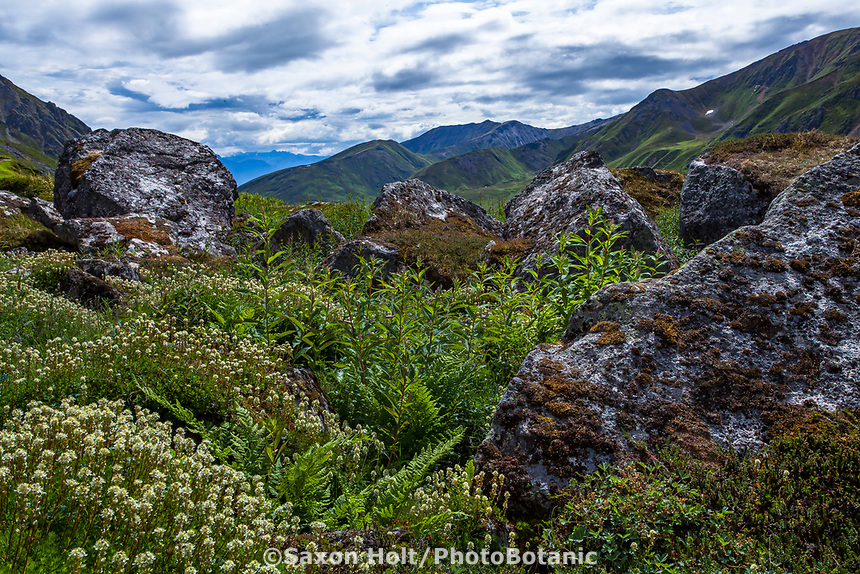 Luetkea pectinata, Alpine Spirea or  Partridgefoot covering boulders; Gold Core Lake trail through subalpine heath tundra, Alaska at Independence Mine State Historical Park