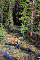 Woodland Caribou or Mountain Caribou (Rangifer tarandus) bull in spring.  Northern Rockies.