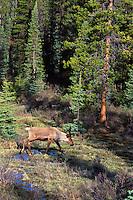 Woodland Caribou or Mountain Caribou (Rangifer tarandus) bull in spring.  Northern Rockies.