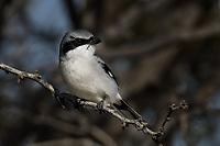 Loggerhead Shrike, San Angelo State Park