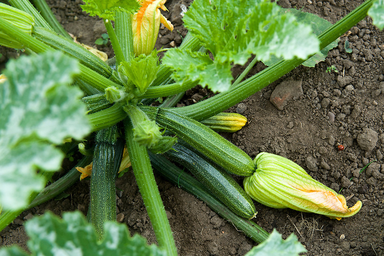 Courgette 'All Green Bush', end June. Seeds sown 8-9 weeks earlier.