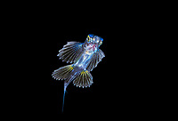 unidentified flyingfish, Cheilopogon species, juvenile, at night, offshore, Palm Beach, Florida, USA, Atlantic Ocean