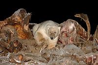 polar bear, Ursus maritimus, scavenging a bowhead whale, Balaena mysticetus, carcass at night, 1002 coastal plain of the Arctic National Wildlife Refuge, Alaska, polar bear, Ursus maritimus