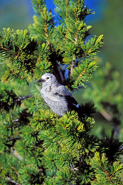 Clark's Nutcracker sitting in whitebark pine tree.  Pacific Northwest.  Summer.