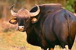 Gaur Ox, Nagarhole National Park, India