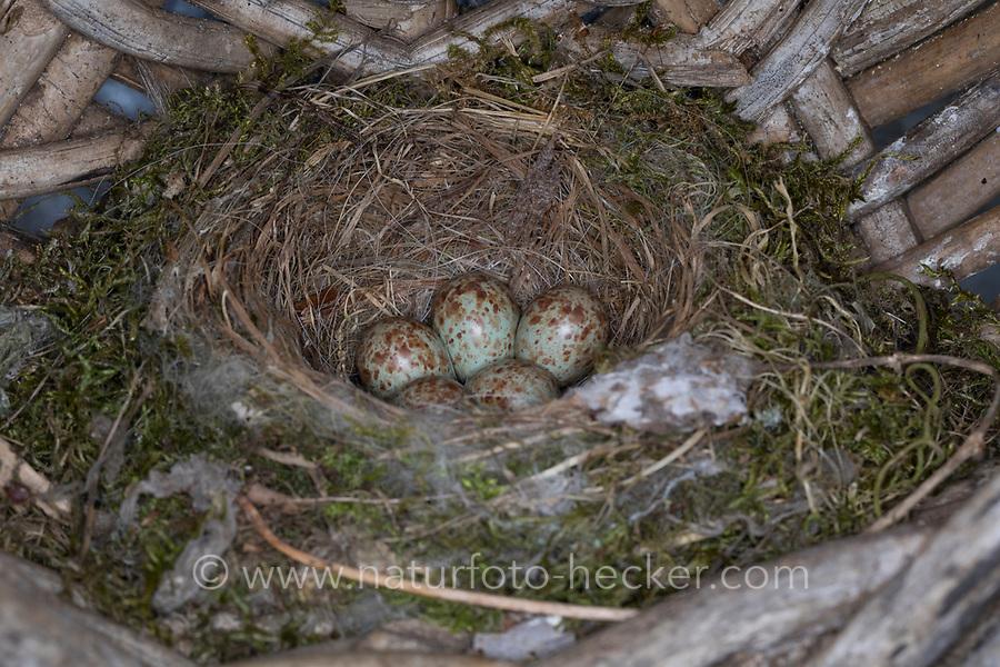 Grauschnäpper, Grau-Schnäpper brütet in einem alten Korb am Haus, Gelege, Nest, Eier, Ei, Muscicapa striata, Spotted Flycatcher, nest, eggs, egg, clutch, Le Gobemouche gris