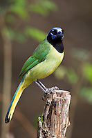 Green Jay (Cyanocorax yncas luxuosus), Green subspecies, at the North American Butterfly Association (NABA) National Butterfly Center in Mission, Texas.
