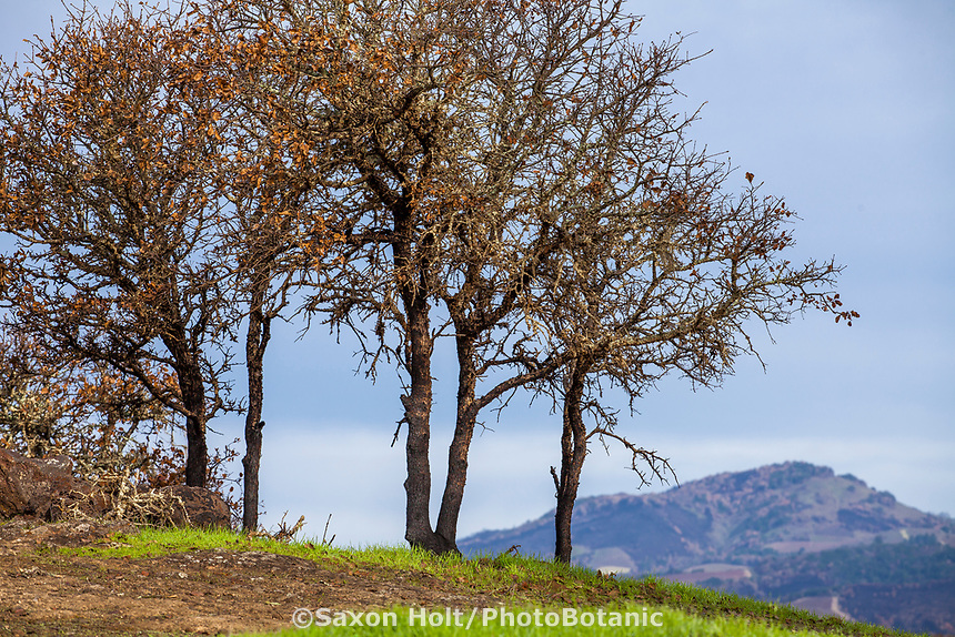Cluster of scorched Oak trees and resprouting grasses on ridge overlooking Sonoma Valley after Nuns fire October 2017,